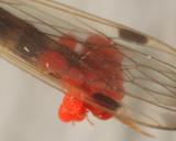 Johnstonianidae