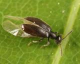 Sapintus fulvipes
