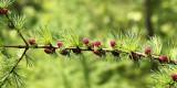 Larch buds - Larix sp.