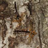 Megarhyssa atrata (males)