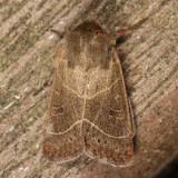 10567 - Sheathed Quaker - Ulolonche culea