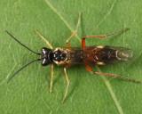 Taxonus pallicoxus