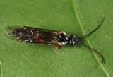 Hemitaxonus albidopictus