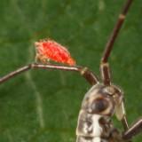 Leptus sp. (larva)