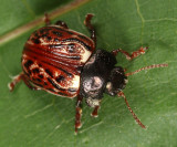 Russet Alder Leaf Beetle - Calligrapha alni