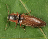 Agriotes collaris