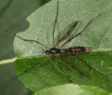 Ptychoptera quadrifasciata