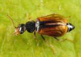 Attalus scincetus
