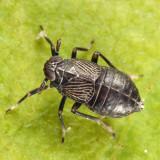 Pissonotus brunneus