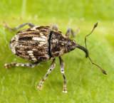 Microplontus campestris