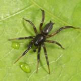 Drassyllus depressus (male)