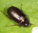 Phyllophaga fusca