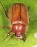 Phyllophaga tristis complex