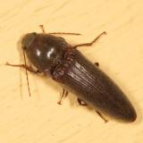 Melanotus communis