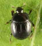 Geomysaprinus moniliatus