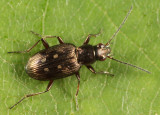 Bembidion inaequale