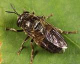 Microdon sp.