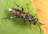 Macrophya pannosa