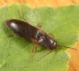 Dalopius virginicus