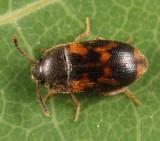 Mycetophagus serrulatus