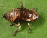 Pine Spittlebug nymph - Aphrophora cribrata