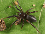 Drassyllus depressus (female)