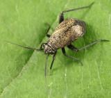 Orthocephalus coriaceus (female)