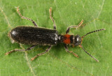 Cymatodera bicolor