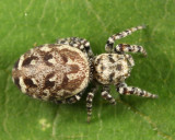 Pelegrina sp.