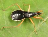 Black Damsel Bug - Nabis subcoleoptratus