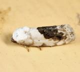 9095 - Small Bird Dropping Moth - Ponometia erastrioides
