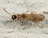 Malthodes parvulus