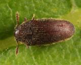 Trixagus carinicollis