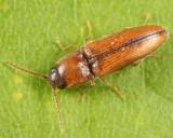 Glyphonyx inquinatus