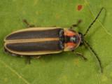 Photinus consanguineus