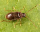 Toe-winged Beetles - Ptilodactylidae