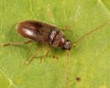 Ptilodactyla carinata