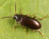 Mycetochara fraterna
