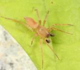 Clubiona kastoni (mature male)