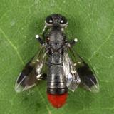 Parasitic Wood Wasps - Orussidae