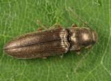 Limonius agonus