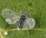 Pemphigus populicaulis