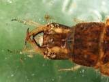 Tropisternus sp. (larva)
