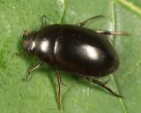 Tropisternus blatchleyi