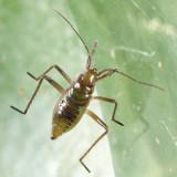 Water Treaders (Mesoveliidae) - Mesovelia sp. (immature)