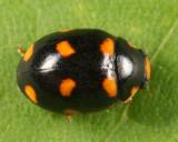 Brachiacantha ursina (female)