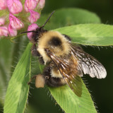 Two-spotted Bumble Bee - Bombus bimaculatus