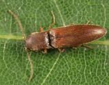 Agriotes oblongicollis