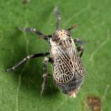 Phyllodinus nervatus