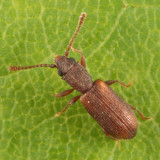 Silvanoprus angusticollis